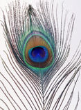 A Peacock Feather Royalty Free Stock Photo