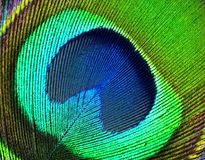 Peacock feather. Royalty Free Stock Images