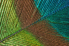 Peacock feather detail