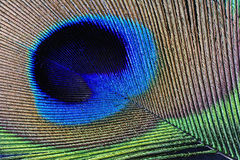 Peacock feather detail Royalty Free Stock Photography