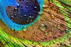 Peacock feather with drops of water Stock Photography