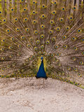 Peacock With Feather Expansion Stock Photography