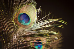Peacock feather eye Royalty Free Stock Photography