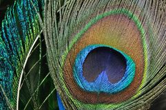 Peacock feather eye Royalty Free Stock Images