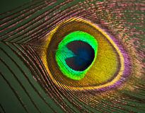 Peacock feather eye Royalty Free Stock Image