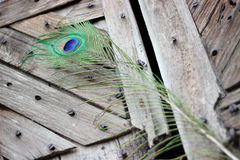 Peacock feather eye. One Peacock tail feather on broken abstract wooden door Royalty Free Stock Photo