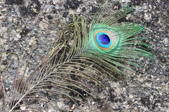 Peacock feather eye. Peacock tail feather on rustic abstract dirty background Stock Images