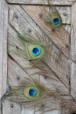 Peacock feather eye. Three Peacock tail feather on broken abstract wooden door Royalty Free Stock Images