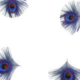 Peacock Feather Eyes. Iridescent eyes of four electric blue and purple peacock feathers set at the corners of the frame, against a white background vector illustration