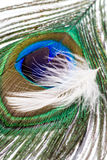 Peacock feather and goose down Stock Photos