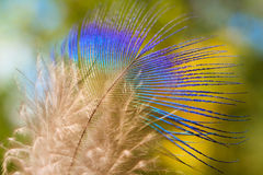 Peacock feather on a green background Stock Image