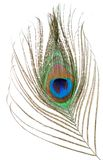 Peacock feather isolated Royalty Free Stock Image