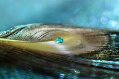 Peacock Feather. A liquid blue water drop floating on a peacock feather stock image
