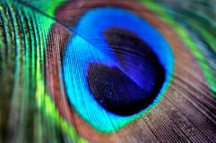 Peacock Feather in macro for background or wallpaper. Blue green teal brown. Trend colors Royalty Free Stock Image