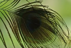 Peacock feather macro. In the daylight stock image