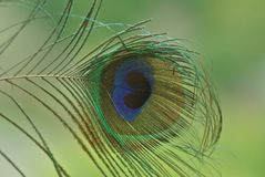 Peacock feather macro. In the daylight royalty free stock image