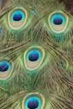 Peacock Feather Macro Stock Image