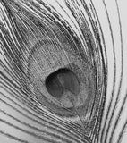 Peacock feather macro shot black white Royalty Free Stock Photos