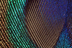 Peacock feather macro. This is a macro shot of peacock feather. The shot reveals the intricate details and the development of the iridescent property of the Royalty Free Stock Image