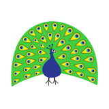 Peacock Feather out open tail. Beautiful Exotic tropical bird. Zoo animal collection.  Royalty Free Stock Photography