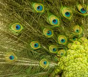 Peacock feather pattern background Stock Images