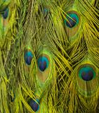 Peacock feather pattern background Stock Photo