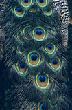 Peacock Feather Pattern Detail Royalty Free Stock Photo