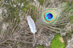 Peacock feather with pigeon feather. Peacock and pigeon feather on rustic abstract background Stock Image