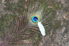 Peacock feather with pigeon feather. Peacock and pigeon feather on rustic abstract background Royalty Free Stock Photography