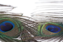 Peacock feather plume Stock Photo