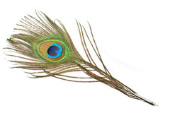 Peacock feather quill Stock Image