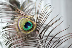 Peacock feather. Refined and bright Stock Image