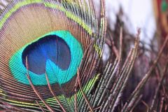 Peacock Feather. The shimmering hues of a peacock`s feather have been a source of aesthetic and scientific admiration for thousands of years. Unlike most birds Royalty Free Stock Photo