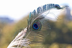 Peacock feather on soft background Stock Photos