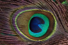 Peacock Feather, Structure, Fund Stock Image