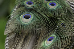 Peacock feather tail Stock Images