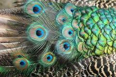 Peacock feather texture Royalty Free Stock Photos