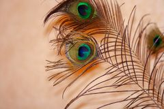 Peacock feather on transparent background stock image
