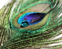 Peacock Feather. A vibrant peacock feather with a clear water drop royalty free stock image