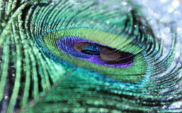 Peacock Feather Stock Photography