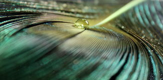 Peacock Feather Water Drop. A peacock feather with a golden water drop royalty free stock images