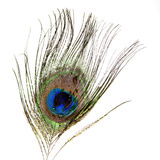 Peacock feather with water droplet Royalty Free Stock Images