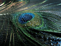 Peacock Feather with water drops Stock Photography