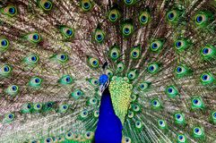 Peacock with feathered tail on display. Proud peacock showing off his beautiful tail feathers Royalty Free Stock Images