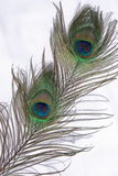 Peacock feathers. With a shadow in a white background Royalty Free Stock Photos