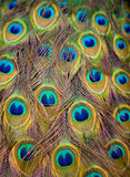 Peacock Feathers. Shallow depth of field Stock Image