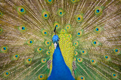 Peacock Feathers. Brightly coloured peacock with feathers Royalty Free Stock Photos