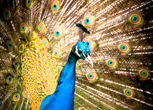 Peacock Feathers. Brightly coloured peacock with feathers Stock Images