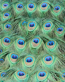Peacock feathers Stock Photography