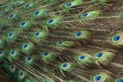 Peacock feathers. Closeup view of peacock feathers Stock Photography